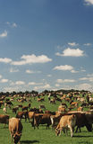 Jersey dairy cows in green pasture Royalty Free Stock Photography