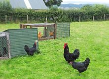 Jersey Giant Cockerel and hens Royalty Free Stock Photos