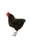 Jersey giant rooster Stock Photo