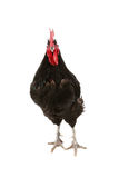 Jersey giant rooster Stock Images