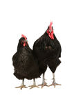 Jersey giant rooster and hen Stock Photo