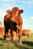 Jersey heifer Royalty Free Stock Photography