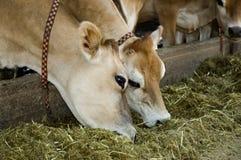 Jersey-Kühe Stockbild