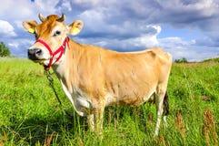 Jersey-Kuh Stockbilder