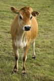Jersey-Kuh auf dem Gebiet stockfotografie