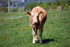 Jersey-Kuh auf einem Gebiet Lizenzfreie Stockfotografie