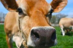 Jersey-Kuh, die an einer Kamera schnüffelt Stockfoto