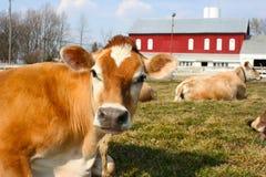 Jersey-Kuh in einer Weide Stockbild