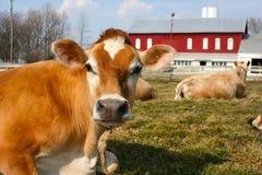 Jersey-Kuh in einer Weide Stockfotografie
