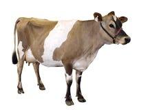 Jersey-Kuh mit dem Halter Stockfotos