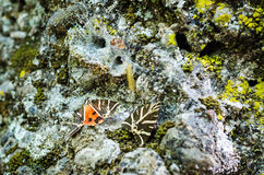 Jersey tiger butterflies Royalty Free Stock Photo