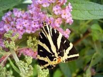 Jersey Tiger Butterfly immagini stock libere da diritti