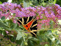 Jersey Tiger Butterfly Royalty Free Stock Photography