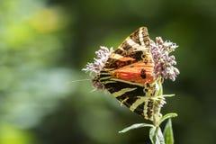 Jersey tiger, Euplagia quadripunctari Royaltyfria Foton