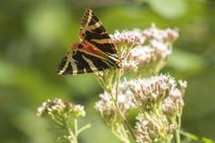Jersey tiger, Euplagia quadripunctari Royaltyfri Foto