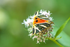 The Jersey tiger Royalty Free Stock Image