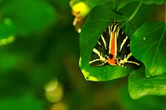 Jersey Tiger moth Stock Photo