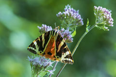 Jersey Tiger moth Euplagia quadripunctari Royalty Free Stock Photography