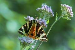 Jersey Tiger moth Euplagia quadripunctari Royalty Free Stock Photography
