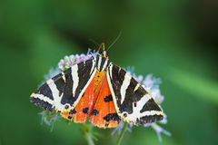 Jersey Tiger moth Euplagia quadripunctari Royalty Free Stock Photos