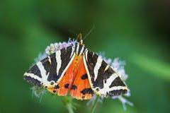 Jersey Tiger moth Euplagia quadripunctari Royalty Free Stock Photos