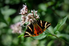 Jersey tiger moth on a flower Royalty Free Stock Images