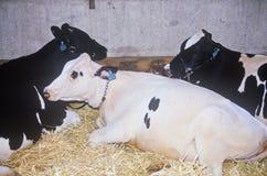 Jersey- und Holstein-Vieh an der Los Angeles County angemessen, Pomona, CA Stockfotografie