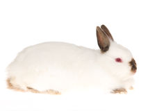 Jersey Wooly Ruby-Eyed White rabbit, on white back Royalty Free Stock Photography