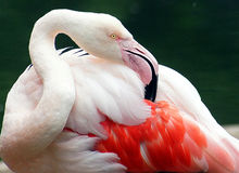 Jersey Zoo - Greater Flamingo preening wing feathers Royalty Free Stock Image