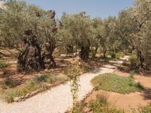 Jerusalén santa eterna Olivos muy antiguos en el jardín de Gethsemane Israel Fotografía de archivo