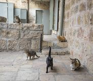Jerusalem Alley Cats royalty free stock photos