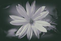Jerusalem artichoke - black and white Royalty Free Stock Images
