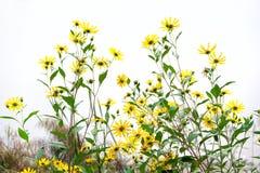 Artichoke flowers Royalty Free Stock Photo
