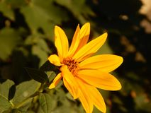 Jerusalem artichoke flower in Gheorgheni. A Jerusalem artichoke flower in a garden in Gheorgheni, Romania, photographed at sunset Stock Image