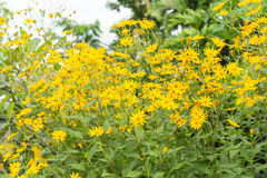 Jerusalem artichoke flower Royalty Free Stock Image