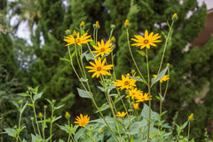 Jerusalem artichoke flower Stock Images