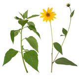 Jerusalem Artichoke Flower and Leaves Stock Photos