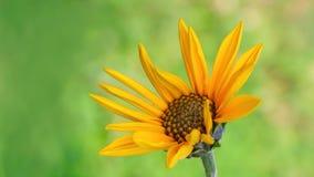 Jerusalem artichoke flower Stock Images