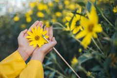 Jerusalem artichoke flowering. Flower in hands. The concept of useful root crops for people with diabetes. Jerusalem artichoke flowering. Flower in hands. The stock photo