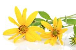 Jerusalem artichoke flowers Stock Image