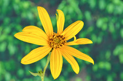 Jerusalem artichoke flowers Stock Photos