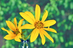 Jerusalem artichoke flowers Stock Photography