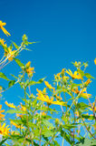 Jerusalem Artichoke Flowers on Blue Sky Background Royalty Free Stock Image