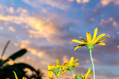 Jerusalem artichoke flowers close up in summer on sunrise. Royalty Free Stock Photography