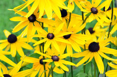 Jerusalem artichoke or girasol (Helianthus tuberosus) Royalty Free Stock Photo