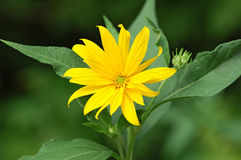 Jerusalem artichoke or girasol (Helianthus tuberosus) Stock Photography