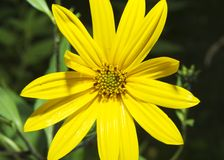 The Jerusalem artichoke. Helianthus tuberosus Royalty Free Stock Photos