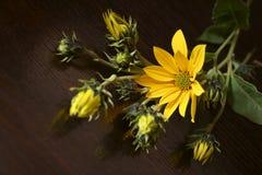 Jerusalem artichoke Helianthus tuberosus royalty free stock images