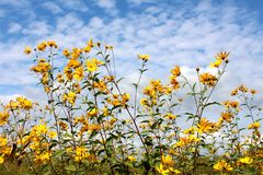 Jerusalem artichoke or Helianthus tuberosus sunflower plants with multiple bright yellow fully open blooming flowers pointing royalty free stock images