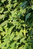 Jerusalem artichoke plant Royalty Free Stock Photos